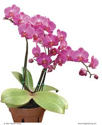 orchid plants success with orchids indoors finegardening