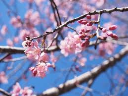 cherry blossom 54 best free tree blossom flower and