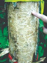 Emerald Ash Borer Map Sun Post Help Minnesota Prevent The Spread Of The Emerald Ash Borer