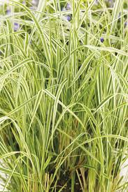 overdam feather reed grass calamagrostis acutiflora proven