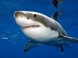 film kartun ikan hiu ikan hiu terbesar dan terbuas di dunia youtube