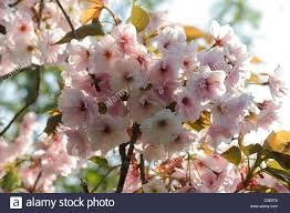 flowers on an ornamental cherry tree prunus shizuka or fragrant