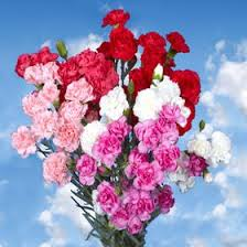 flowers express globalrose 100 fresh cut s spray carnations
