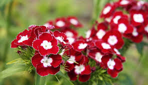 dianthus flower dianthus dreams caring for carnations sweet williams and pinks