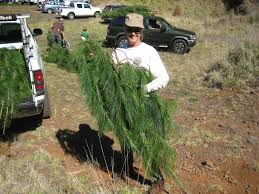 friends of haleakala christmas tree cutting ho u0027okipa aikane on