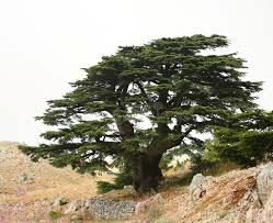 cedar tree lebanon stock images image 10557894