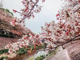 sakura u0027 in ph cherry blossom park to open in benguet