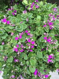 All Year Flowering Shrubs - sweet pea shrubs are evergreens that bloom on and off all year