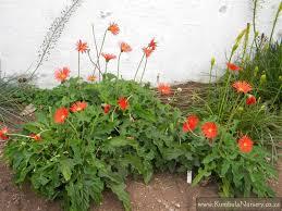 gerbera plant gerbera jamesonii kumbula indigenous nursery