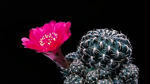 asian cactus ring holder images Busting cactus smugglers in the american west the atlantic jpg