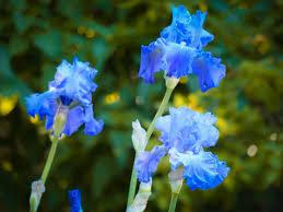 Iris Flag Blooming Iris Featured Flower Eyes Of A Child Blog
