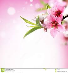 Peach Flowers Closeup Of Peach Flower Royalty Free Stock Photography Image