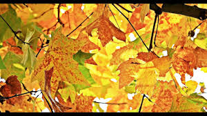 Relaxing Colors by Autumn Colors U0026 Relaxing Music Beautifull Fall Leaf Colors In Hd