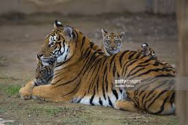 and tiger cubs meet visitors in kayseri pictures getty images