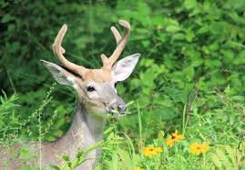 thanksgiving horn called deer facts from deere a young buck carolyn u0027s compositions