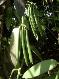 vanilla orchid orchids care and maintenance tips vanilla orchids orchid care
