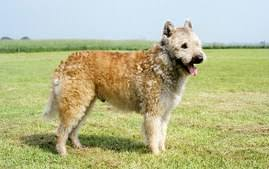 belgian sheepdog types belgian sheepdog breed information