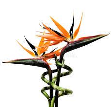 birds of paradise flowers birds of paradise flowers stock image image of plant orange 786555