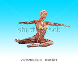 Female Muscles Anatomy Female Muscle Anatomy Doing Yoga 3d Stock Illustration 624879872