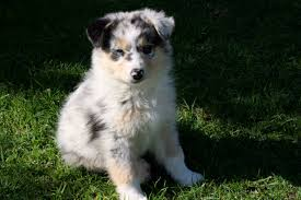 australian shepherd water australian shepherd dog information for owners