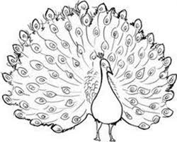 peacock drawing outline peacocks coloring pages free coloring