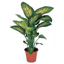 indoor plant send tropic snow indoor plant flower gifts to dubai with flowers