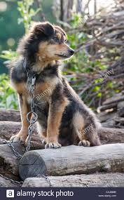 Dog In The Backyard by Miserable And Hungry Chained Dog In The Backyard Stock Photo