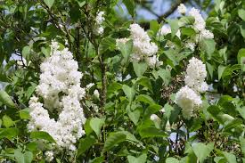 free images nature blossom white sweet flower bloom spring