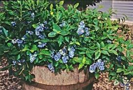 some varieties of blueberries can work on your deck or around your