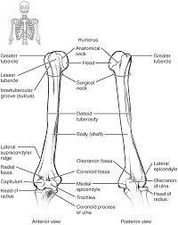 Anatomy Of The Right Arm Bones Of The Upper Limb Anatomy And Physiology
