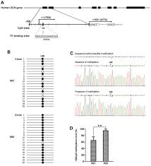 methylated 58cpg site decreases dcn mrna expression and enhances