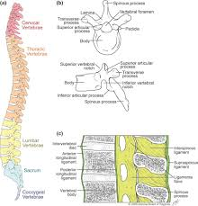 Human Anatomy Atlas Atlas Of Bone In Human Anatomy Atlas Amp Axis Vertebrae These