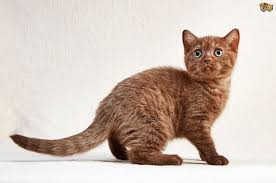 british shorthair cat breed information buying advice photos and
