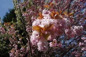 transplanting native plants wild cherry tree information u2013 transplanting black cherry trees in