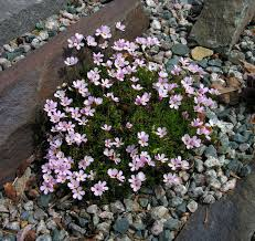 Rock Garden Society by Newfoundland Rock Garden Society
