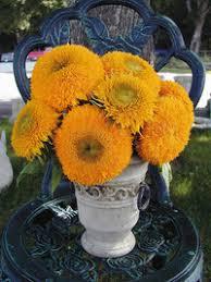 teddy sunflowers teddy sunflower veseys