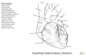 the human heart anatomy and circulation worksheet answers choice