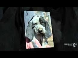 bluetick coonhound gascon american blue gascon hound dog breed youtube