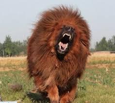 lion dogs lion dog breeders general pet photos gallery mz3bxxzkjo