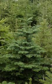 Decorated Christmas Tree Not Taking Water by What Is The Best Real Christmas Tree Where Can I Buy Them And How