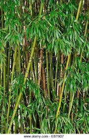 ornamental grasses and bamboo stock photos ornamental grasses