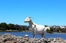 Get Your Goat Rentals by About Rent A Goat
