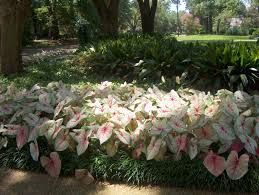 plant guide caladium bicolor white white
