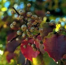 pyrus calleryana callery pear plant database of