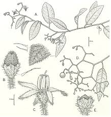 four new vining species of solanum dulcamaroid clade from