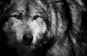 image black and white wolf favim com 620737 jpg jam clans