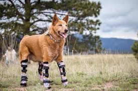 3 legged boxer dog prosthetic legs for dogs and cats go high tech