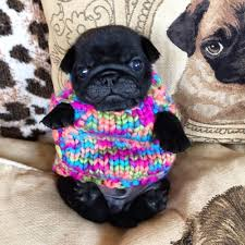 pug sweater pug in a rug oh no look at him in his tiny sweater pugs