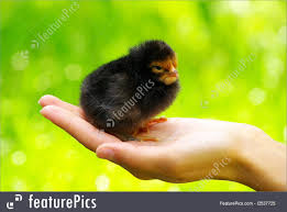 small chicken image of small chicken