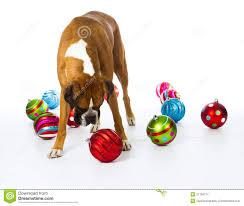 Dog Christmas Ornaments Boxer Dog With Christmas Ornaments Stock Photo Image Of Holiday